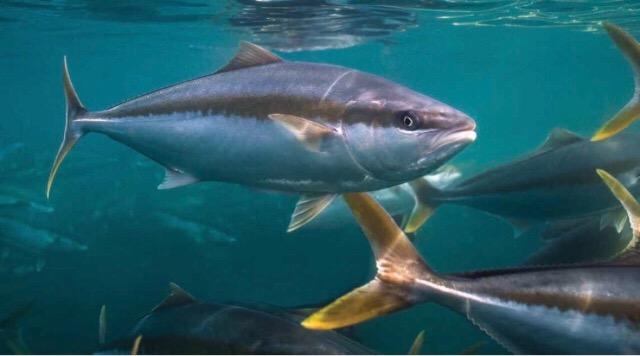 Yellowtail (Hiramasa) fishing in Japan - FishingKaki com